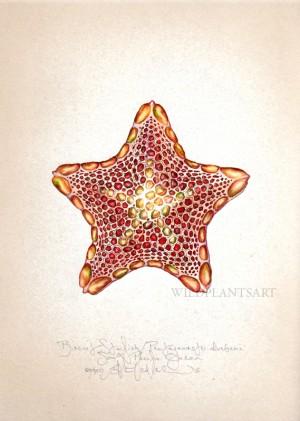 Biscuit Starfish