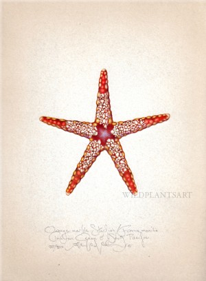 Orange Marble Starfish