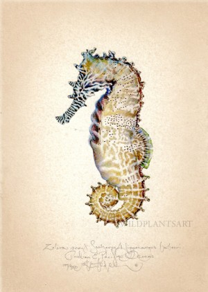 Zebrasnout Seahorse