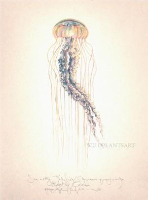 Sea Nettle Jellyfish