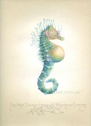 Shorthead Seahorse (Pregnant)