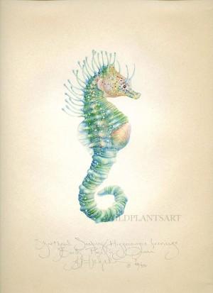 Shorthead Seahorse (Pre-Pregnancy)