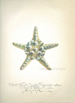 Great Horned Sea Star